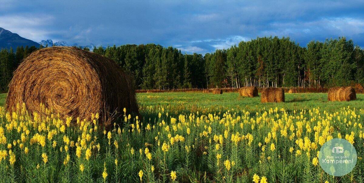 hooikoorts gras pollen allergie